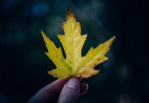yellow maple leaf holding