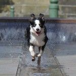 border-collie-running