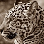 black and white jaguar